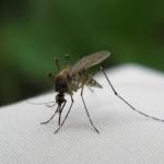 komar-makro-owad